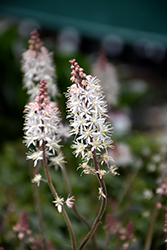 Pink Skyrocket Foamflower (Tiarella 'Pink Skyrocket') at Plant World