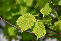 Golden Leaf Hazel (Corylus avellana 'Aurea') at Plant World